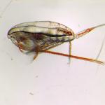Calanus finmarchicus Photo Bjorn Henrik Hansen SINTEF 150x150 - Huile de calanus, une nouvelle source d'acides gras oméga-3