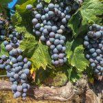 d3cb9d633a 106006 changement climatique vins 150x150 - Comment les changements climatiques affectent la production mondiale de fruits